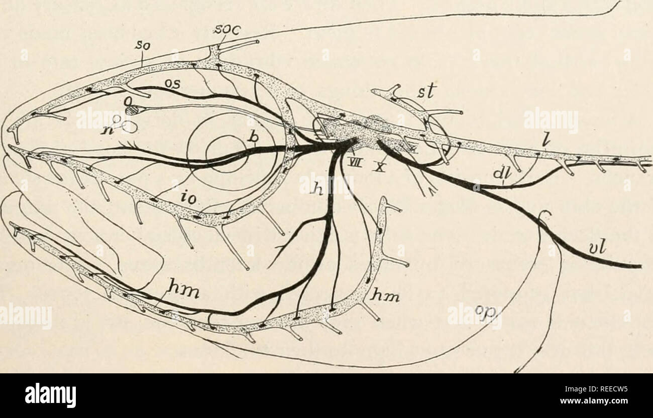 . Comparative anatomy of vertebrates. Anatomy, Comparative; Vertebrates -- Anatomy. FIG. 181.-—Stereogram of lateral line organs of a fish, c, lateral line canal; In, lateralis nerve; p, pores connecting with the exterior; s, scales in skin; so, sense organs of lateral line. sac. FIG. 182.—Head of pollack, showing lateral line canals and nerves of the lateralis system, after Cole. Lateralis nerves black, canals and brain dotted, b, buccalis ramus of VII nerve; dl, dorsal ramus of lateralis of X nerve; h, hyomandibularis nerve; hm, hyomandib- ular line of organs; io, infraorbital line; /, later - Stock Image