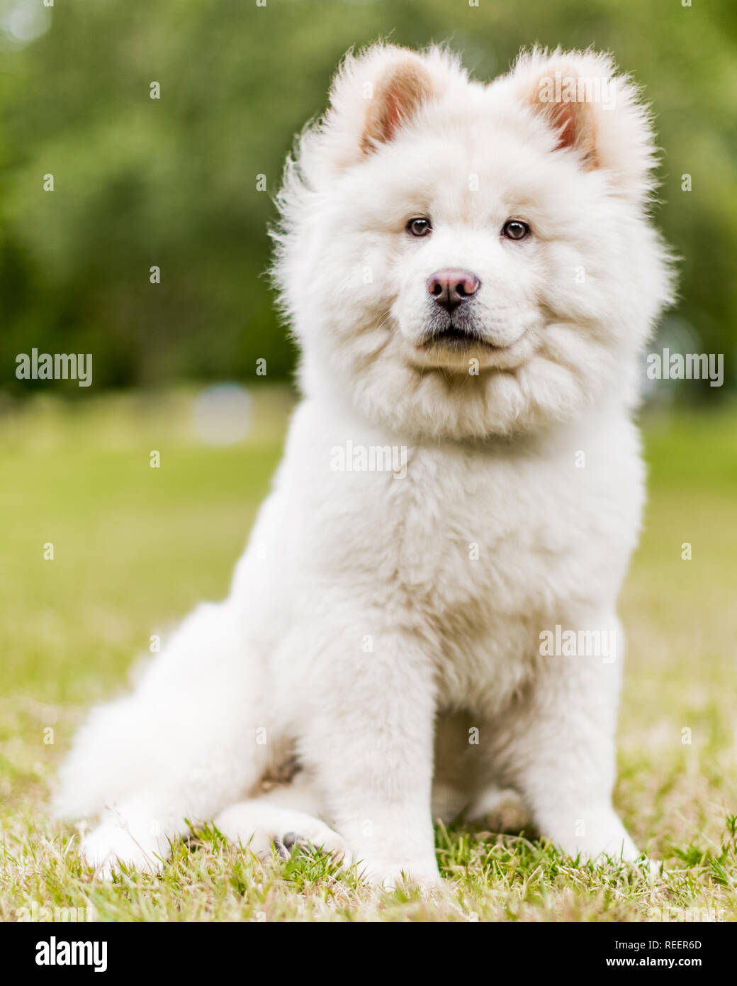 Close up Samoyed Puppy sitting in a meadow looking to the