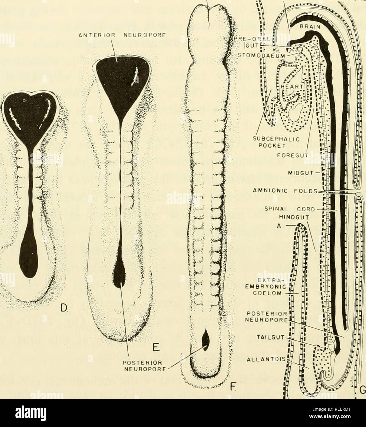 . Comparative embryology of the vertebrates; with 2057 drawings and photos. grouped as 380 illus. Vertebrates -- Embryology; Comparative embryology. FOREGUT-f- I ANTERIOR NTESTINAL 5 PORTAL MIDGUT- NOTOCHORD- NEURAL- 5 ECTODERM !  â 'F II POSTERIOR it INTESTINAL PORTAL A â^. ^ '.V ANTERIOR NEUROPORE CAUDAL FOLD OF AMNION ANTERIOR NEUROPORE. Fig. 242. Early development of the pig embryo (B, C, and G from Patten: Embryology of the Pig, Philadelphia, Blakiston; A is from Streeter: Carnegie Inst. Publ. No. 380, Contrib.'to Embryol. 100; D, E, and F from Heuser and Streeter: Carnegie Inst. Publ. No - Stock Image