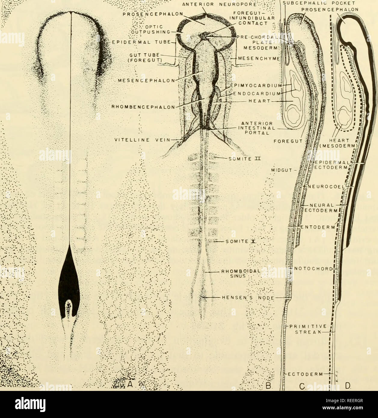 . Comparative embryology of the vertebrates; with 2057 drawings and photos. grouped as 380 illus. Vertebrates -- Embryology; Comparative embryology. TUBULATION OF ORGAN-FORMING AREAS 485 vagination from the epidermal (ectodermal) tube (fig. 242G). Similarly, the caudal region of the hindgut rudiment contacts the proctodaeal invagination of the epidermal tube, while a tail gut extension continues into the tail (fig. 217). The formation of definitive walls of the midgut area in embryos developing from the flattened gastrular condition (including the higher mammals which do not possess large amou - Stock Image
