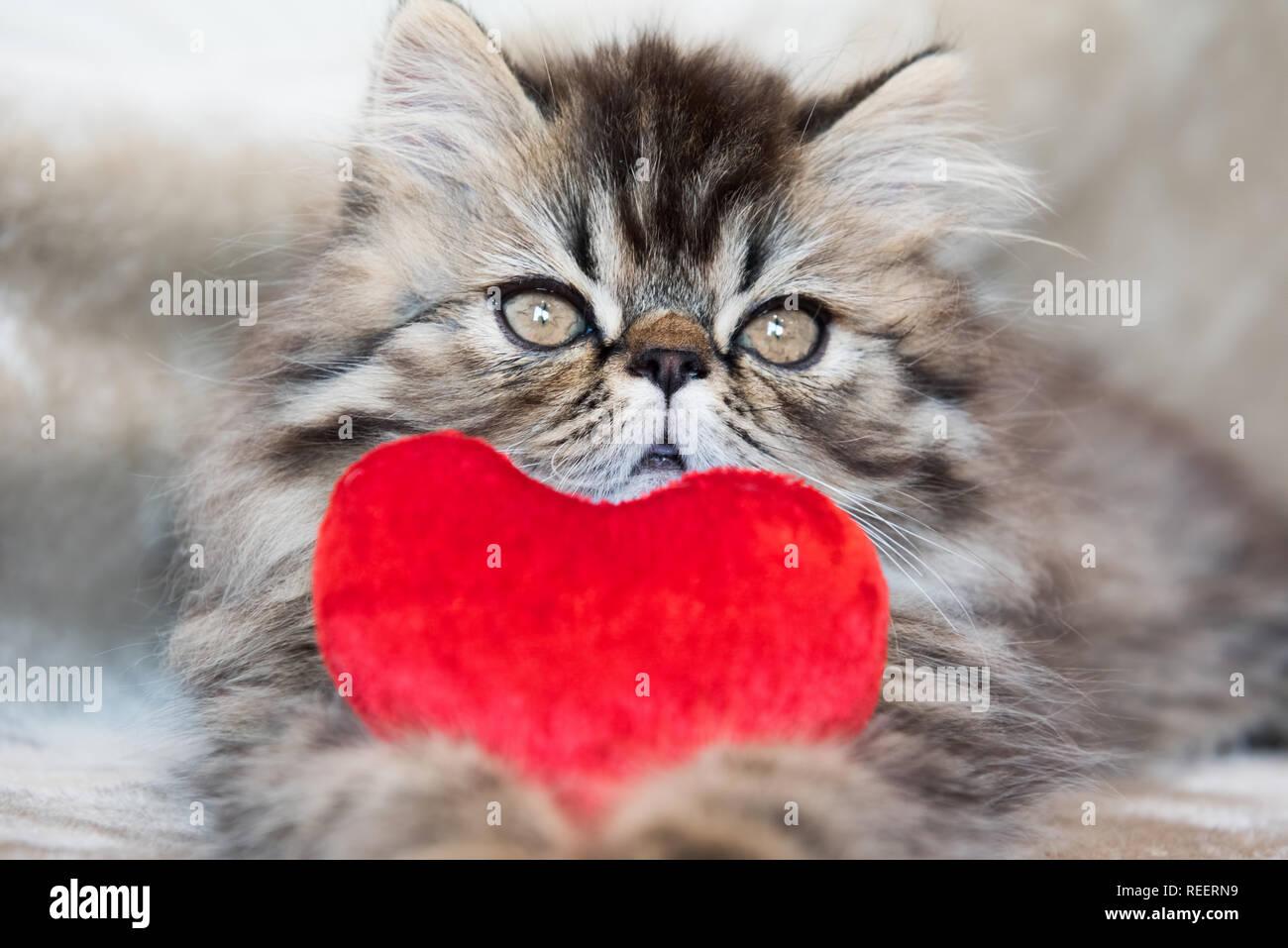 Beautiful Persian kitten cat with red heart Stock Photo