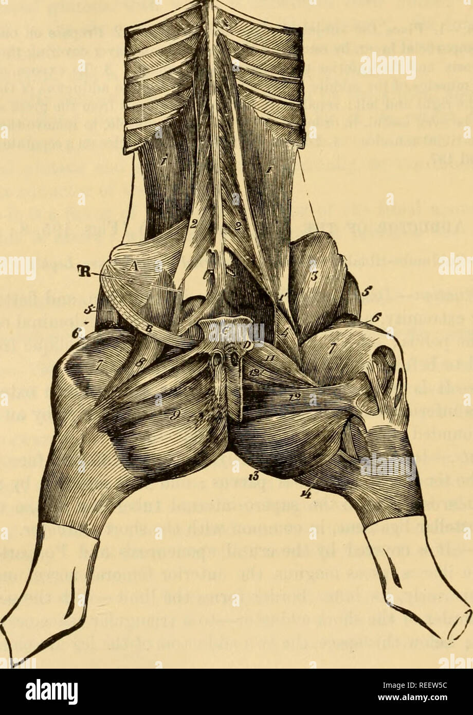 . The comparative anatomy of the domesticated animals. Horses; Veterinary anatomy. 354 THE MUSCLES. Attachments.—It originates, by the whole extent of its superior border, from the under surface of the ischio-pubic symphysis, aud is united to the muscle of the opposite side—on^m. Its terminal aponeurosis, united to that of the sar- torious, is inserted on the internal patellar ligament and the internal face of the tibia—movable insertion; posteriorly, it is united to the aponeurosis of the semi- tendinosus, and with it forms the tibial aponeurosis enveloping the tibial muscles. Relations.—Its  - Stock Image