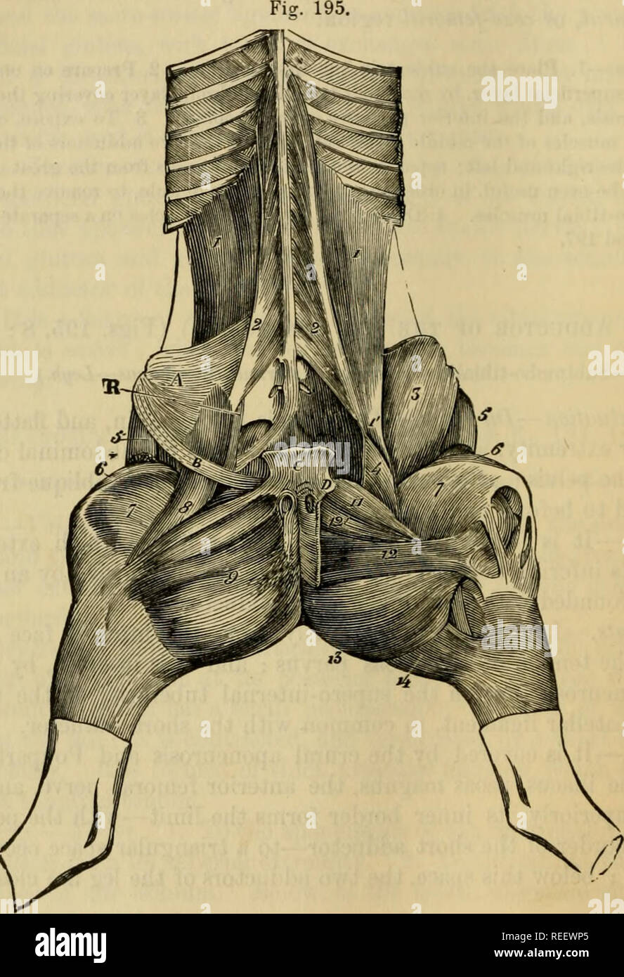 . The comparative anatomy of the domesticated animals. Veterinary anatomy. 354 THE MUSCLES. Attachments.—It originates, by the whole extent of its superior border, from the under surface of the ischio-pubic symphysis, and is united to the muscle of the opposite side—origin. Its terminal aponeurosis, united to that of the sar- torious, is inserted on the internal patellar ligament and the internal face of the tibia—movable insertion; posteriorly, it is united to the aponeurosis of the semi- tendinosus, and with it forms the tibial aponeurosis enveloping the tibial muscles. Relations.—Its superf - Stock Image