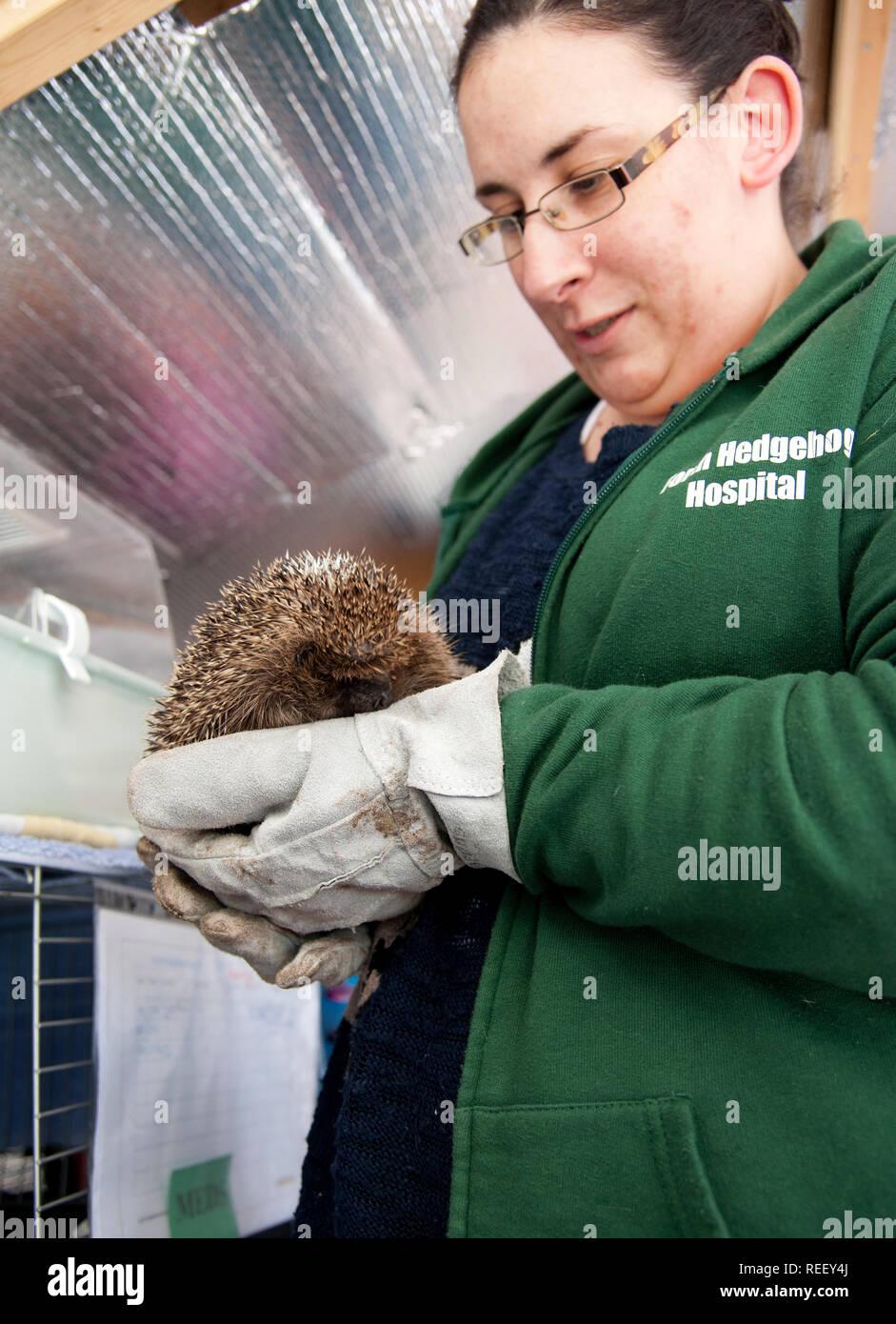 A recuperating hedgehog cared for by Nadia Al-Dujaili at Forth Hedgehog Hospital, Rosyth, Scotland - Stock Image