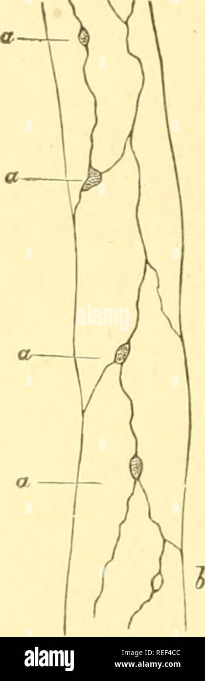 """. Compendium of histology. Histology. Fig. 86.—1, capillary with a thin wall, and the nuclei a and b ; 2, capillary with double contoured walls ; 3, small artery, with the endothelial layer a, and the middle layer b. Fig. 87.—Capillary from the mes- entery of th< frog t a and b, small apertures, '""""Stomata."""" endo"""" elia, larger and smaller, mostly rounded, dark cor- puscles (a, a) or light circular markings (b). There are small openings here, through which the lymphoid cells, by their vital migration (p. 10), probably make an active exit, and the colored elements of the blood  - Stock Image"""