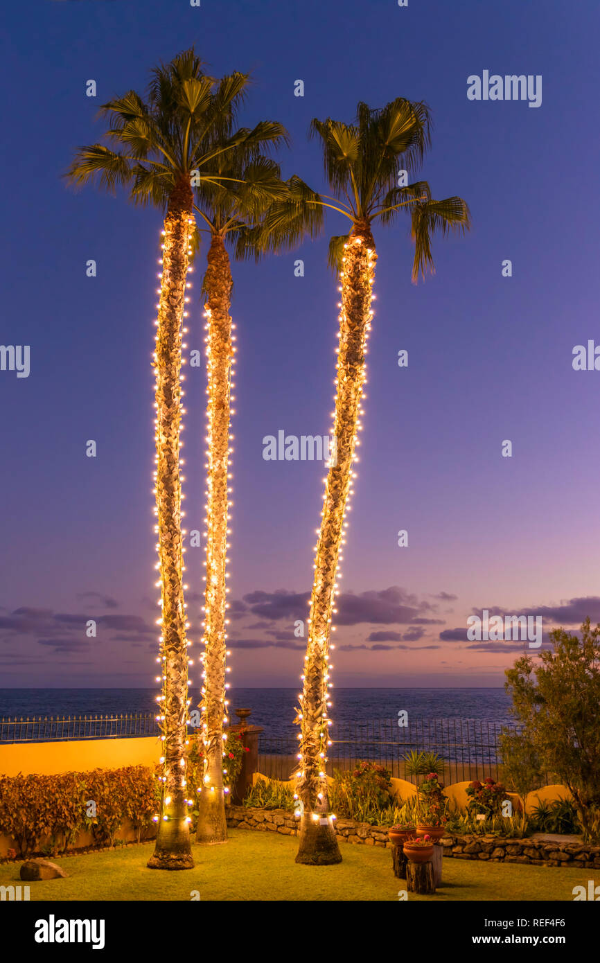 Funchal Trees decorated with Christmas lights tall palm trees wrapped in lights at christmas Funchal Madeira Portugal EU Europe - Stock Image