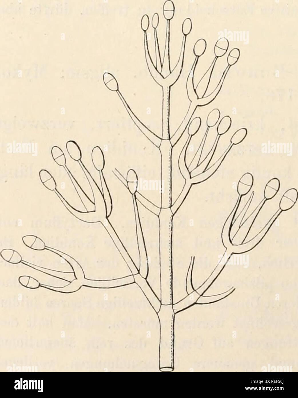 . Dr. L. Rabenhorst's Kryptogamen-Flora von Deutschland, Oesterreich und der Schweiz. Cryptogams -- Germany; Cryptogams -- Austria; Cryptogams -- Switzerland. 374 kreise von rein systematisclien Gesichtspunkten aus. Bevor diese nicht ausgeführt ist, wird sich eine Klärung des Gattungs- und Artbegriffes der pilzbewohnenden Mucedineen nicht erwarten lassen. Der Name wird abgeleitet von diplos (doppelt) und Klados (Spross). 766. D. inajiis Bonord. Handb. allgem. Mykol. p. 98 (1851), Fig. 168. — Sacc. Syll. IV, 177. — Eivolta Parass. 2. ed. p. 482, Fig. 191a. — Oudemans in Nederl. Kruidk. Arch. 3. Stock Photo