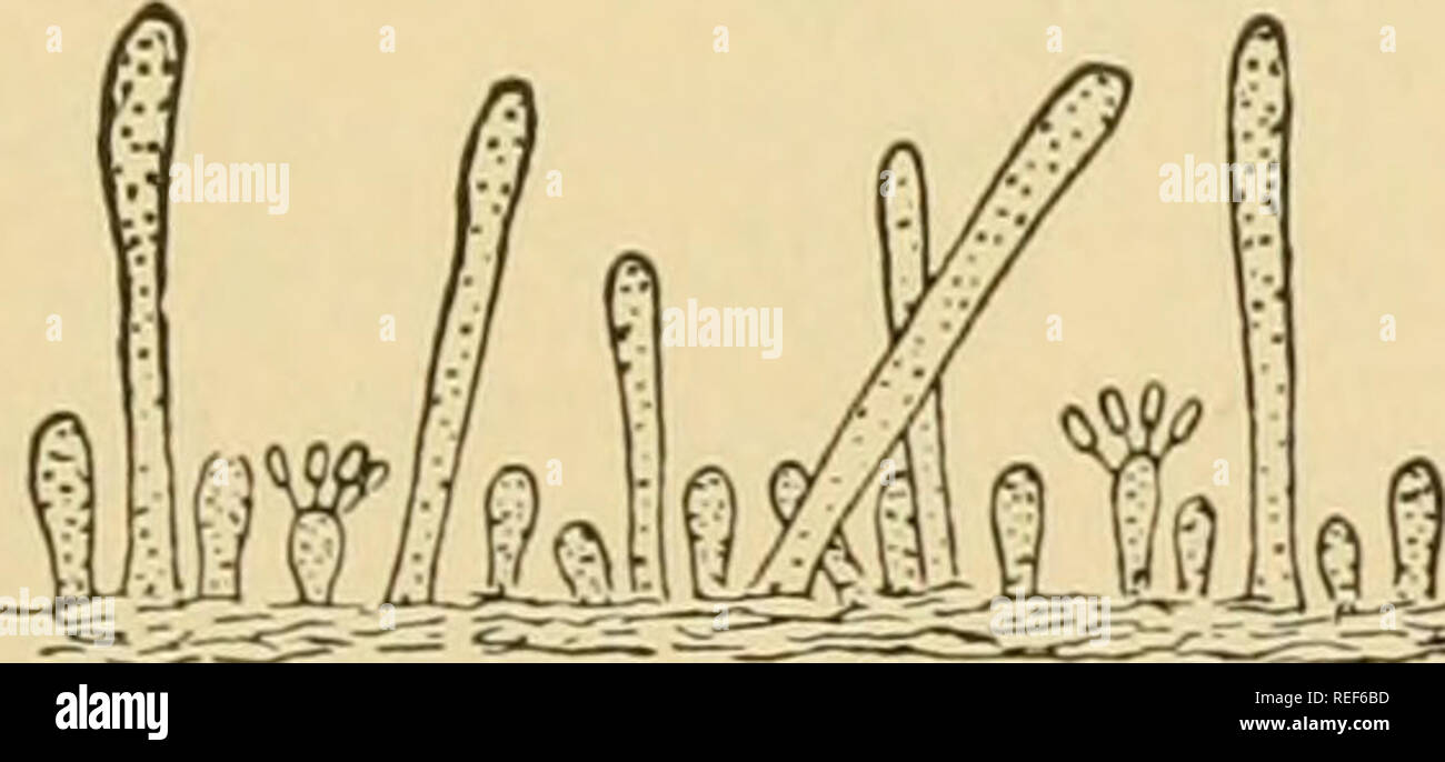 . Comparative morphology of Fungi. Fungi. Fig. 279.—Gloeocystidivm clavuligerum. Fig. 280.—Epithele Typhae. Section of Section of hymenium showing basidia and hymenium showing a peg of hyphae. gloeocystidia. (X 385; after Hoehnel and (X 255; after Hoehnel and Litschaucr, 1906.) Litschauer, 1906.) Coniophora cerebella develops very thick (often 0.5 mm.) crusts, at first fleshy and membranous, later dry and brittle. This species is as important a cause of dry rot of coniferous timber in the United States as Merulius lacrymans in Europe. Corticium centrijugum, C. Stevensii and C. radiosum (C. alu - Stock Image