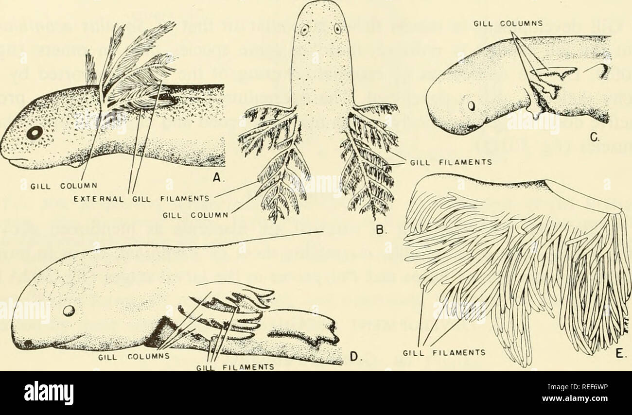 . Comparative embryology of the vertebrates; with 2057 drawings and photos. grouped as 380 illus. Vertebrates -- Embryology; Comparative embryology. 640 RESPIRATORY AND BUOYANCY SYSTEMS. Fig. 302. External gills. (A after Kerr: Chap. 9, Entwicklungsgeschichte der Wir- beltiere, by Keibel, Jena, G. Fischer; B from Noble, '31; C-E original.) (A) Larval form of Lepidosiren paradoxa. (B) Larval form of Pseiidohranchus striatus. (C, D) Early developmental stages of Necturus maculosus. (E) Gill filaments on gill of adult Necturus. considerably from that found in most fishes. In many species, the gil - Stock Image