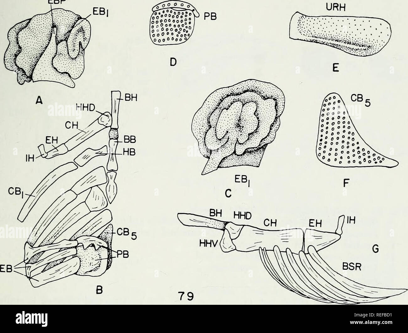 . The comparative osteology and phylogeny of the Anabantoidei (Teleostei, Pisces). Labyrinthici; Bones; Fishes. EBP. Please note that these images are extracted from scanned page images that may have been digitally enhanced for readability - coloration and appearance of these illustrations may not perfectly resemble the original work.. Liem, Karel F. Urbana, University of Illinois Press Stock Photo