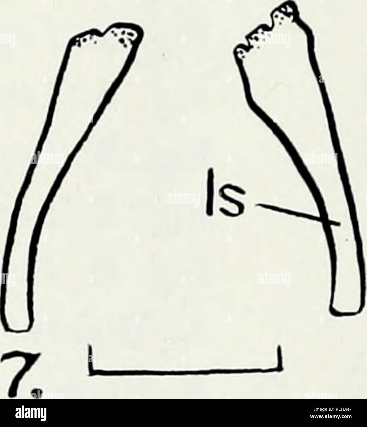 . Comparative osteology of the snake families Typhlopidae and Leptotyphlopidae. Reptiles; Leptotyphlopidae; Typhlopidae. 3.A Is 5. B ' ' — 8. L 1 4. A 4. B L Is, Is^. W II Is 9. I. Please note that these images are extracted from scanned page images that may have been digitally enhanced for readability - coloration and appearance of these illustrations may not perfectly resemble the original work.. List, James Carl, 1926-. Urbana, University of Illinois Press - Stock Image