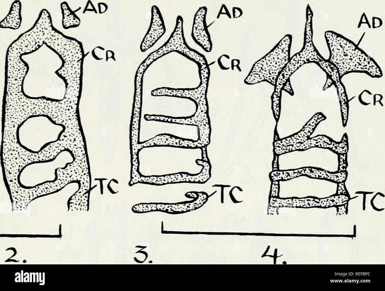 . Comparative osteology of the snake families Typhlopidae and Leptotyphlopidae. Reptiles; Leptotyphlopidae; Typhlopidae. L. 0. Cr M D ^XV Cr K '^^ c4 10% CrI TC-^ TC^^ Hy TC-i MY-I My- My- 6. 8.. Please note that these images are extracted from scanned page images that may have been digitally enhanced for readability - coloration and appearance of these illustrations may not perfectly resemble the original work.. List, James Carl, 1926-. Urbana, University of Illinois Press - Stock Image