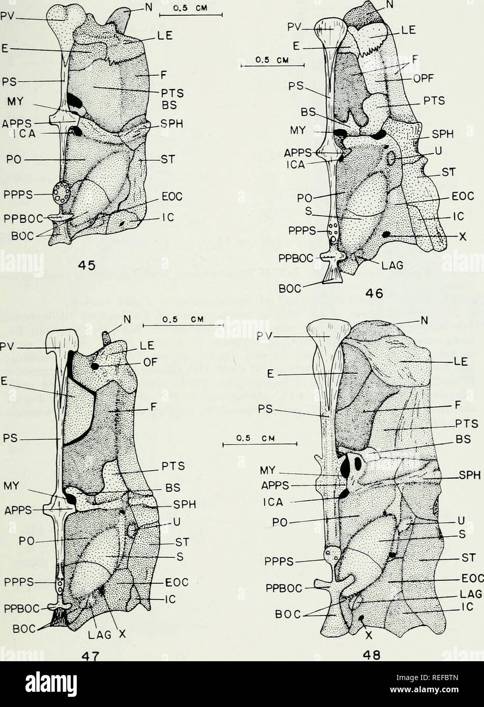 . The comparative osteology and phylogeny of the Anabantoidei (Teleostei, Pisces). Labyrinthici; Bones; Fishes. 105. Please note that these images are extracted from scanned page images that may have been digitally enhanced for readability - coloration and appearance of these illustrations may not perfectly resemble the original work.. Liem, Karel F. Urbana, University of Illinois Press Stock Photo