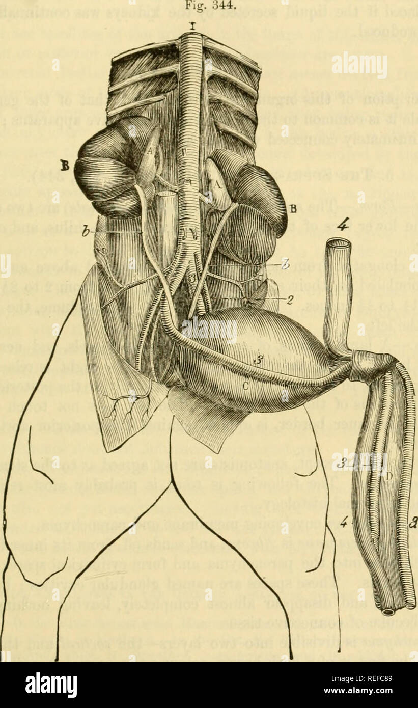 Umbilical Artery Stock Photos Umbilical Artery Stock Images Alamy