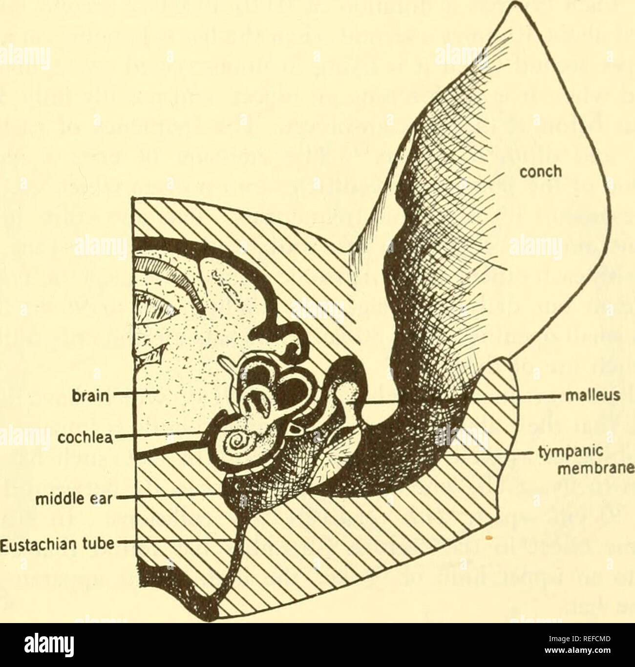 https://www alamy com/comparative-animal-physiology-physiology-comparative-physiology-comparative-phonoreceptiun-491-mammals-in-all-mammals-the-cochlea-is-highly-developed-and-in-all-mammals-that-are-not-completely-aquatic-the-middle-car-contains-three-os-sicles-similar-to-those-of-man-and-an-external-ear-is-usually-present-fig-168-the-cochlea-is-always-coiled-but-the-number-of-turns-has-no-apparent-rela-tion-to-the-size-or-intelligence-of-the-animal-the-duck-billed-platypus-has-a-quarter-turn-the-whale-has-15-turns-the-horse-2-man-about-275-cat-3-pig-and-guinea-pig-nearly-4-and-the-south-a-image232679229 html