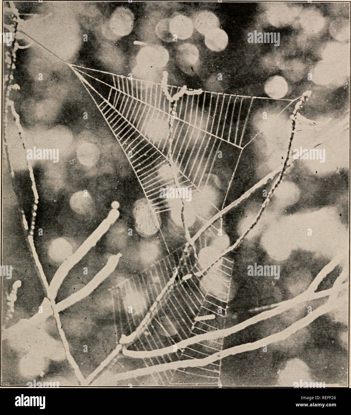 . The common spiders of the United States. Spiders -- United States. THE CINIFLONID/E, OR CRIBELLATA 219 The male is half as large as the female, the abdomen smaller, and the humps lower. The web (fig. 500) consists of four rays crossed by a dozen or more threads. The point where the rays meet is attached. Fig. 500. Webs of Hyptiotes in the top of a bush. Half the real size. to a thread which extends to the spider's roost, usually the end of a twig. Here it holds on by the hind feet and draws the thread tight with the fore feet. When an insect strikes the web the spider lets go with the hind f - Stock Image