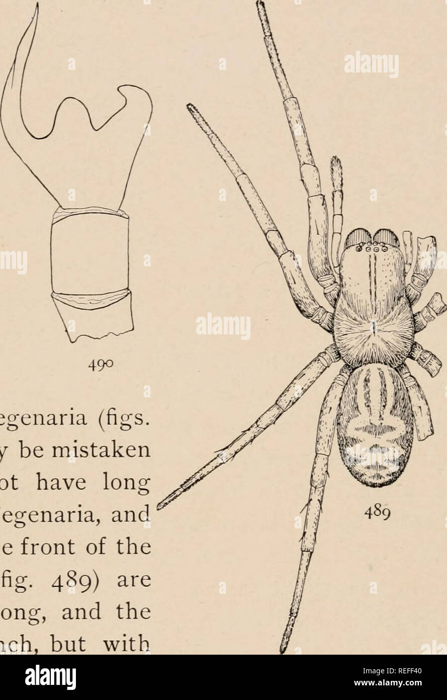 . The common spiders of the United States. Spiders -- United States. THE CINIFLONID/E, OR CRIBELLATA 213 at the base as long as the tibia itself and pointing upward at a right angle with it (fig. 485) ; in muraria the corresponding pro- cess is short and turned forward, and the tibia seems propor- tionally longer (fig. 486). The cribellum in both these species is large and can easily be seen in front of the other spinnerets. The calamistrum extends over half the length of the fourth metatarsus, which in volucripes is slightly curved. Amaurobius sylvestris. â This is the common Amaurobius all o - Stock Image