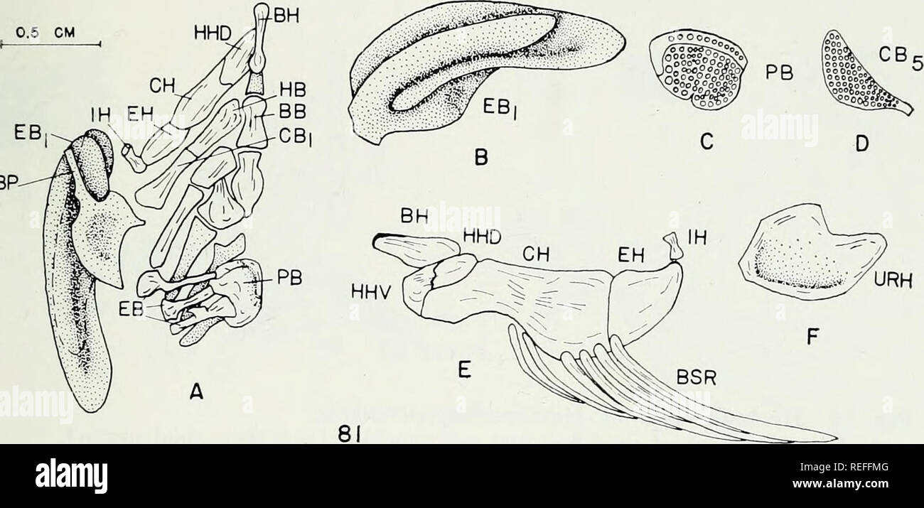 . The comparative osteology and phylogeny of the Anabantoidei (Teleostei, Pisces). Labyrinthici; Bones; Fishes. EBP-. Please note that these images are extracted from scanned page images that may have been digitally enhanced for readability - coloration and appearance of these illustrations may not perfectly resemble the original work.. Liem, Karel F. Urbana, University of Illinois Press Stock Photo