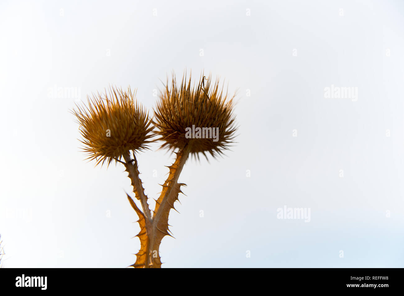 Dry flowers of spine plant on white sky background. Wild thorn plant outdoor. Flora and nature. Defense and protection concept, copy space. - Stock Image