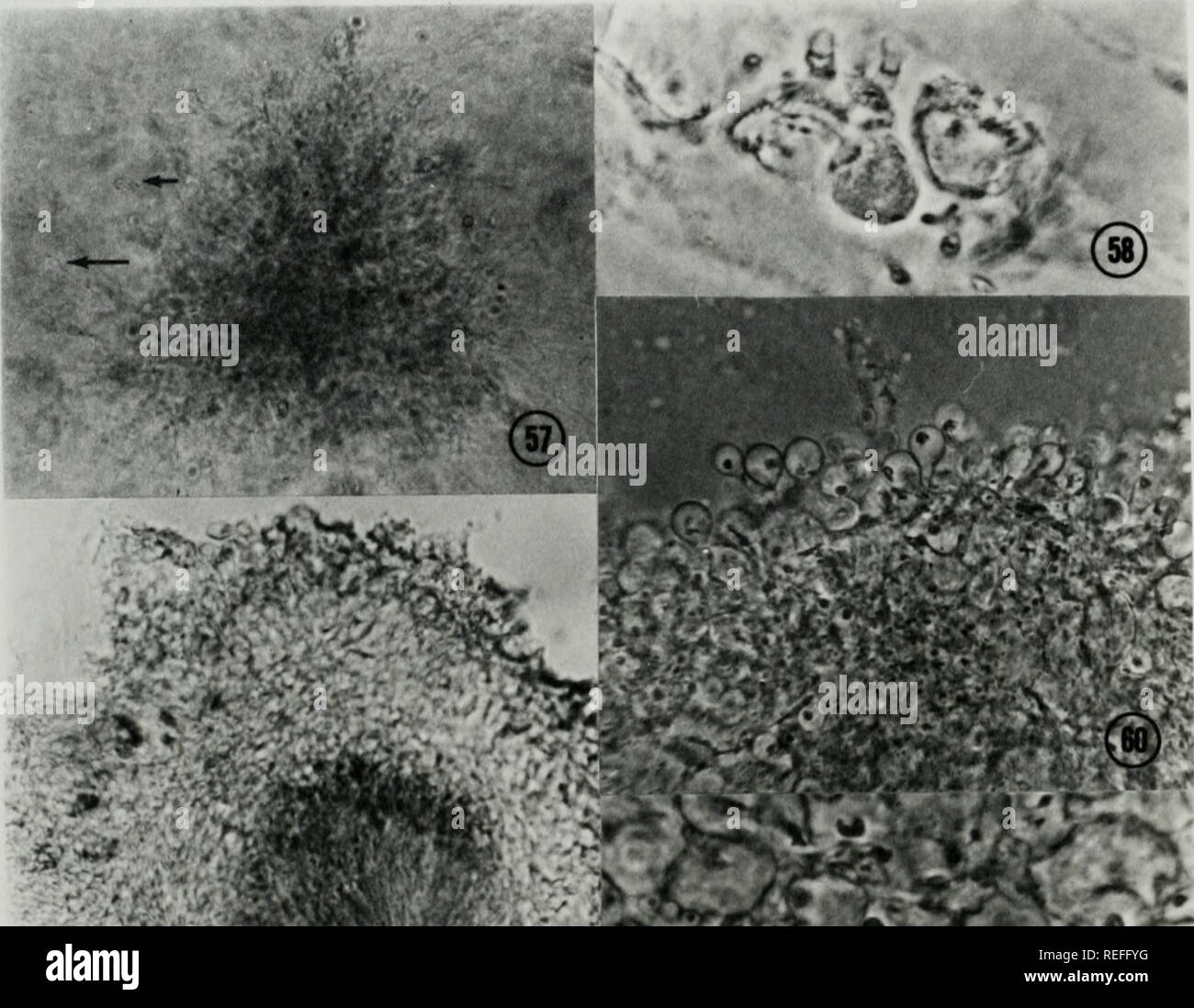 . Comparative ontogeny of Thelebolus, Lasiobolus, and Thecotheus (Pezizales, Ascomycetes). Fungi. 82. Please note that these images are extracted from scanned page images that may have been digitally enhanced for readability - coloration and appearance of these illustrations may not perfectly resemble the original work.. Conway, Kenneth Edward, 1943-. - Stock Image