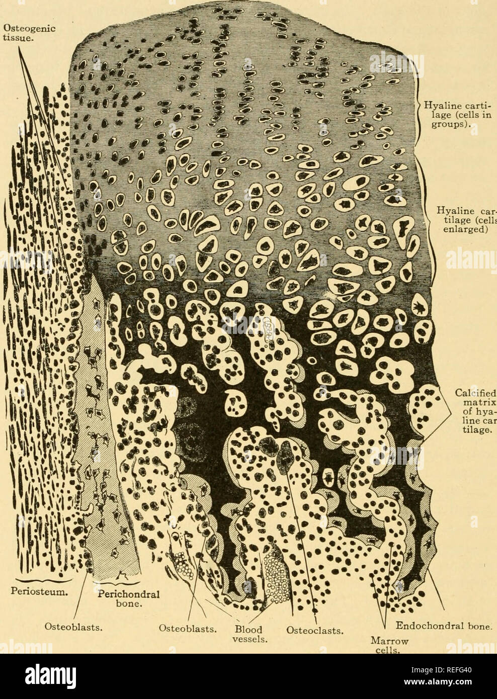 . Comparative anatomy. Anatomy, Comparative. I04 COMPARATIVE ANATOMY Osteogenic tissue. Hyaline carti- lage (cells in groups). Hyaline car- tilage (cells enlarged). Osteoblasts. Endochondral bone. Fig. 77.—Development of cartilage bone (primary bone). Part of a longitudinal section of a phalanx of the first finger of a human embryo of the fourth month. Ossifica- tion within the cartilage produces endochondral bone; the perichondrium deposits bone superficially to the cartilage, perichondral bone, and thereby becomes the periosteum. X220. (From Bremer, Text-book of Histology.). Please note that Stock Photo