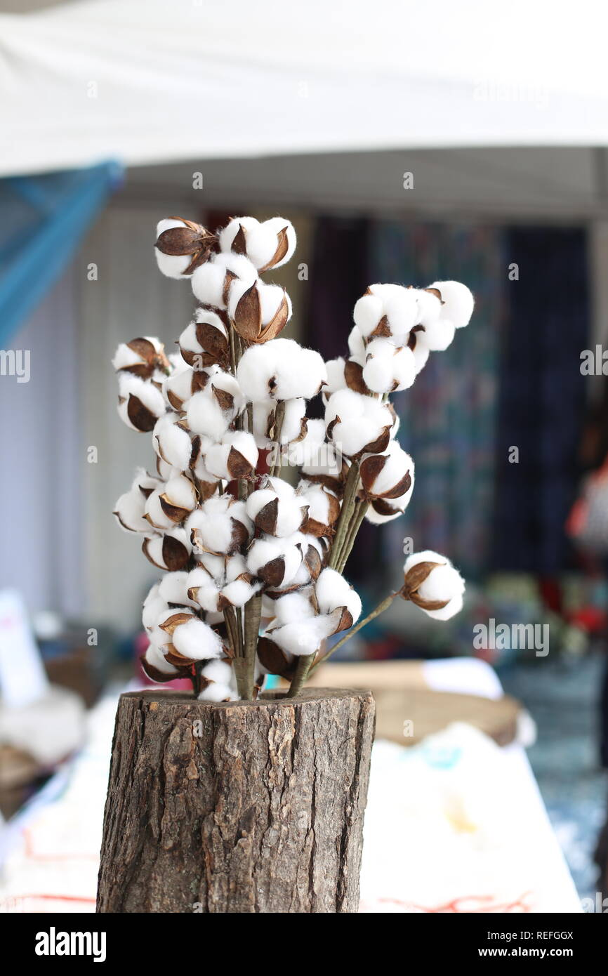 Cotton plant branches. Dried cotton flowers white and brown . Natural softness raw textile background. Natural fiver pure and clean concept. - Stock Image