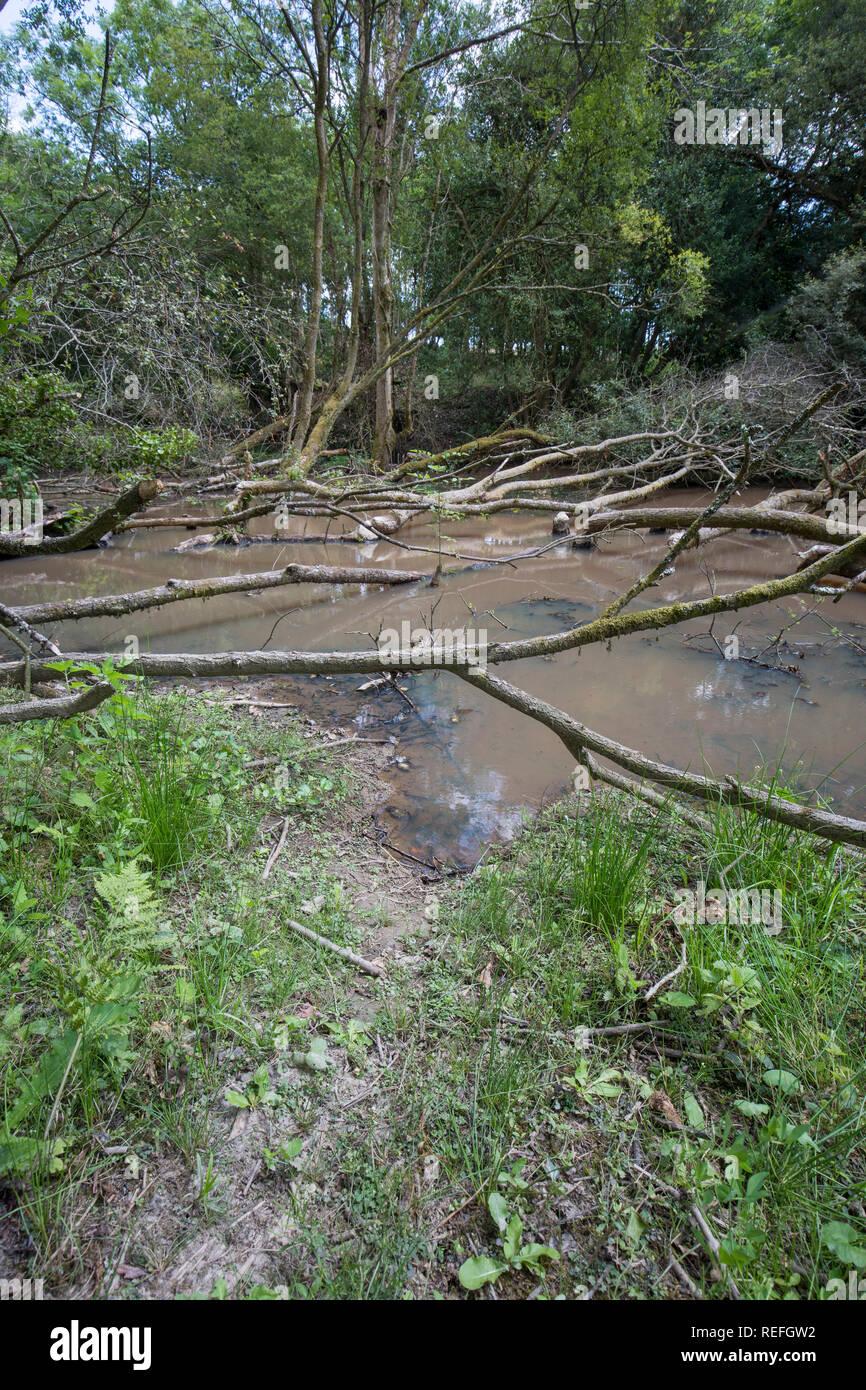 Beaver Signs; Castor Fiber Felled Tree and Track; Devon; UK - Stock Image