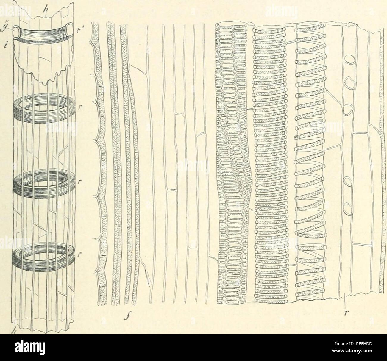 Mesembryanthemum varians, Ricardo Riddles
