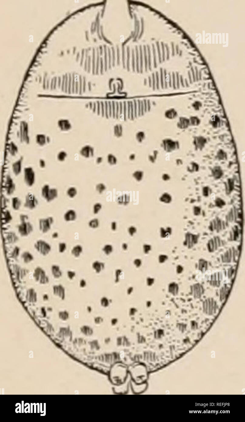 . The common spiders of the United States. Spiders -- United States. 167 Figs. 166, 167. Lycosa nidicola. —166, female enlarged twice. 167, under side of abdomen. brown spots. The males and young are lighter and more plainly marked than the adult female s. This spider lives under stones and other shelters in the woods in a shallow nest, lined with silk, where the female may be found with her cocoon of eggs early in the summer. Lycosa pratensis. -— A small species, four- fifths to half an inch long, yellowish brown, with indistinct light and dark markings. 169, side of cephalothorax. The cephal - Stock Image