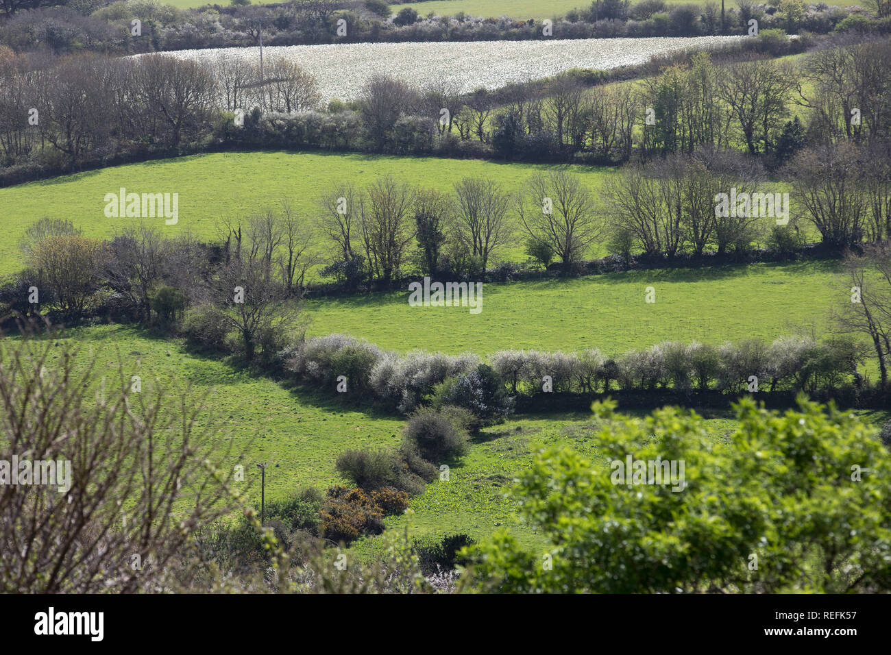 Hedgerows; West Cornwall; UK - Stock Image