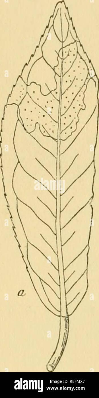 . Dr. L. Rabenhorst's Kryptogamen-Flora von Deutschland, Oesterreich und der Schweiz. Cryptogams -- Germany; Cryptogams -- Austria; Cryptogams -- Switzerland. Ascochyta 625 Gattungen verschieden, sowohl hinsichtlich der Form, als auch dem Gefüge nach. Um nun jeden Zweifel auszuschliessen, sind in die Gattung Ascochyta nur jene bezüglich der Beschaffenheit der Sporen hierhergehörigen Pilze gestellt worden, welche Blätter, seltener einige Fruchtformen bewohnen, während die Aeste, Stengel und Halme bewohnenden Arten der Gattung Diplodina zugewiesen w^urden und umgekehrt. Ascochyta Citri Penzig a. - Stock Image