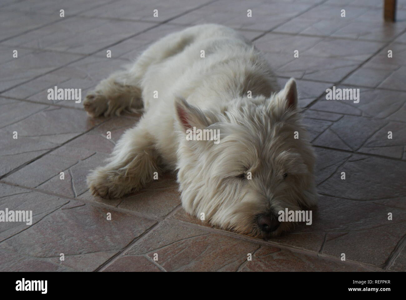 West highland terrier sleeping on tiles - Stock Image