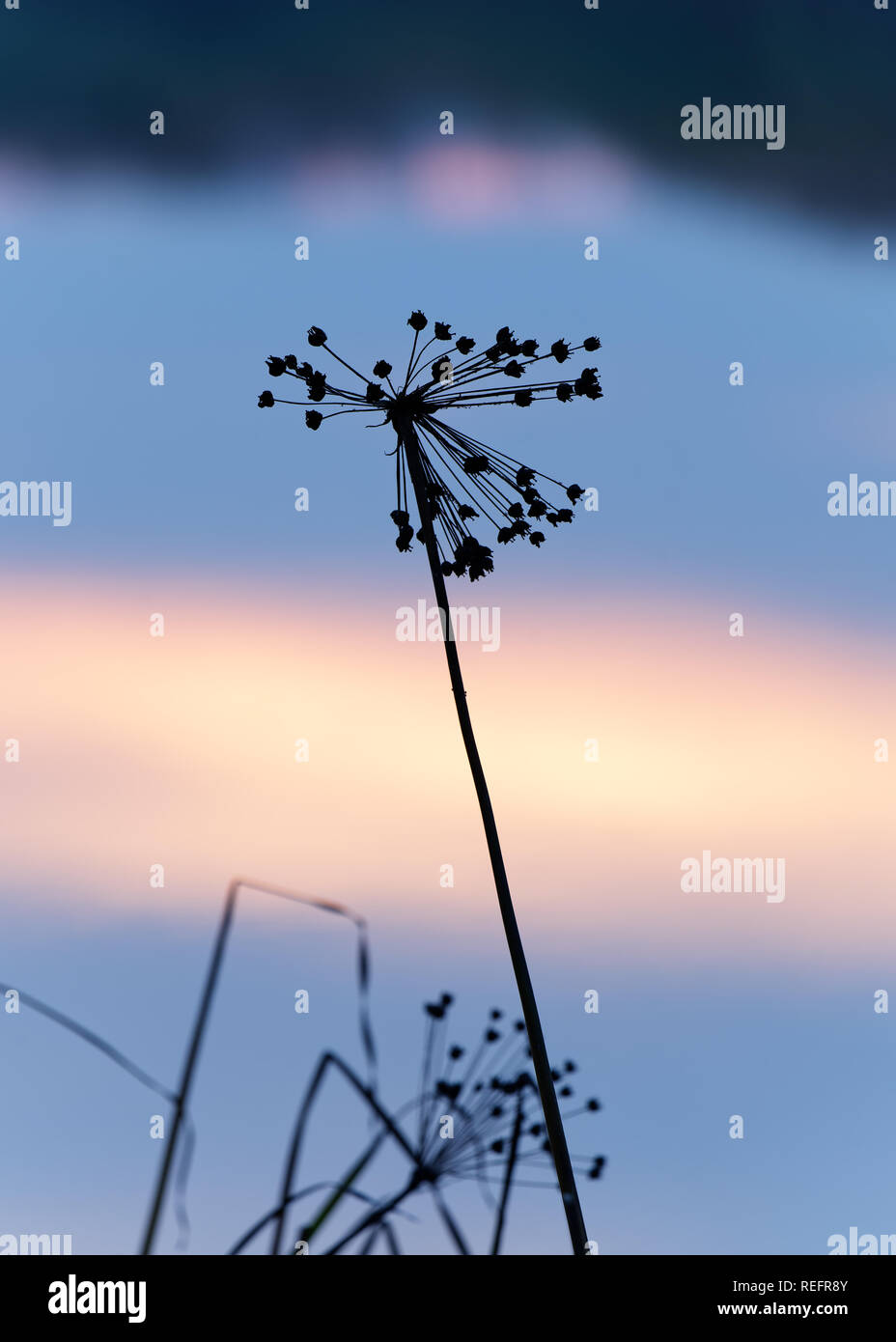 Silhouette of a panicle in narrow sharpness zone in the evening light at the blue hour, detail view, close-up, as background the in the water mirrored - Stock Image