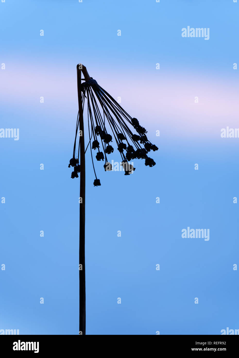 Silhouette of a kinked panicle in narrow sharpness zone in the evening light at the blue hour, detail view, close-up - Location: Germany, Oderbruch - Stock Image