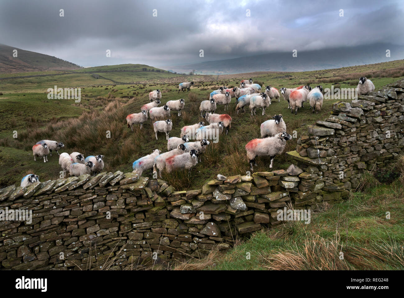 Dentdale, Cumbria, UK. 21st January 2019. Swaledale sheep graze under a heavy grey Winter sky on upland moorlands in Dentdale, Yorkshire Dales National Park. Credit: John Bentley/Alamy Live News - Stock Image