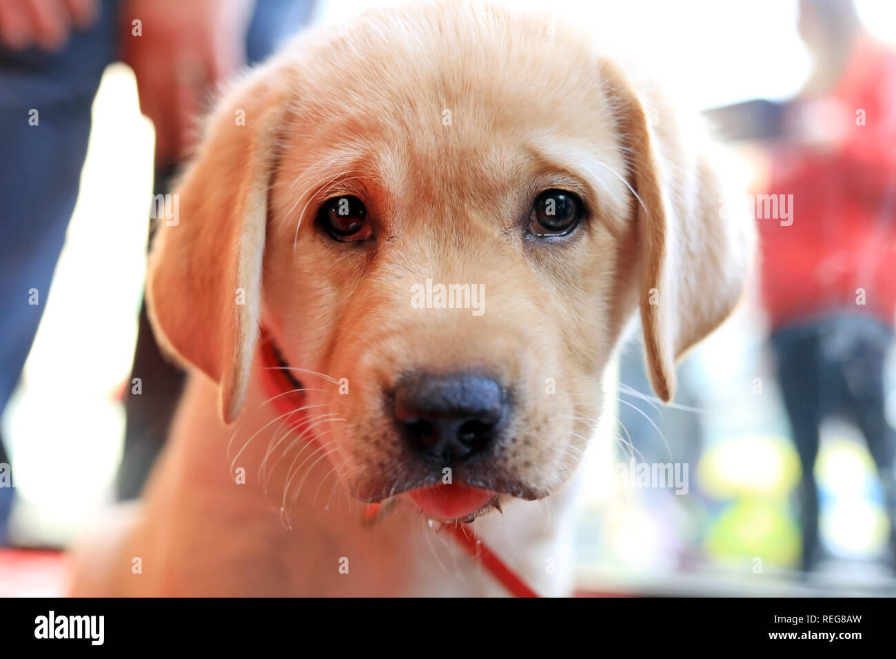 London, UK. 21st Jan 2019. On Blue Monday, Staples Solutions created a pop-up 'Happy Space' on Baker Street, London, to raise the spirits of office workers. Cute 8 Week Old Labrador Retriever Puppies were on hand to add some cheer on the most depressing day of the year. Research has found that has found that 81% of UK office workers say their office space has a direct impact on their mental health. - 21st Jan 2019 Credit: Oliver Dixon/Alamy Live News - Stock Image