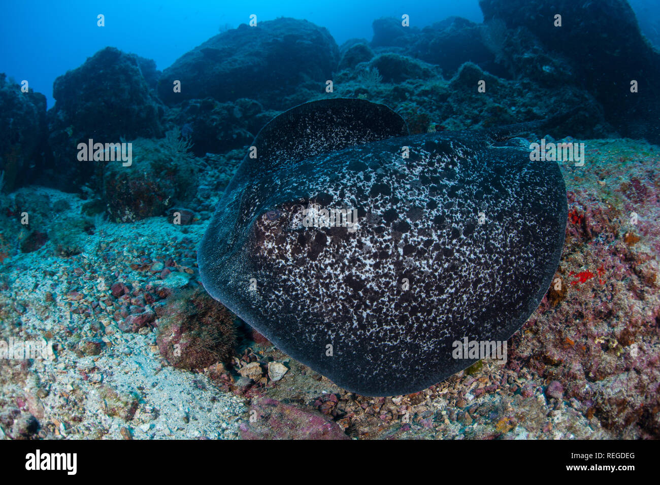 A Marbled stingray, Taeniura meyeni, swims over the rocky  seafloor at Cocos Island, Costa Rica. This remote island is known for its marine life. Stock Photo