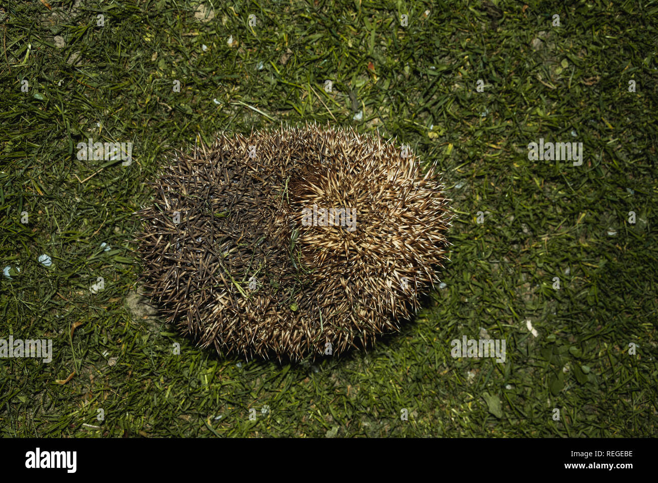Forest wild hedgehog on a green lawn 2019 - Stock Image