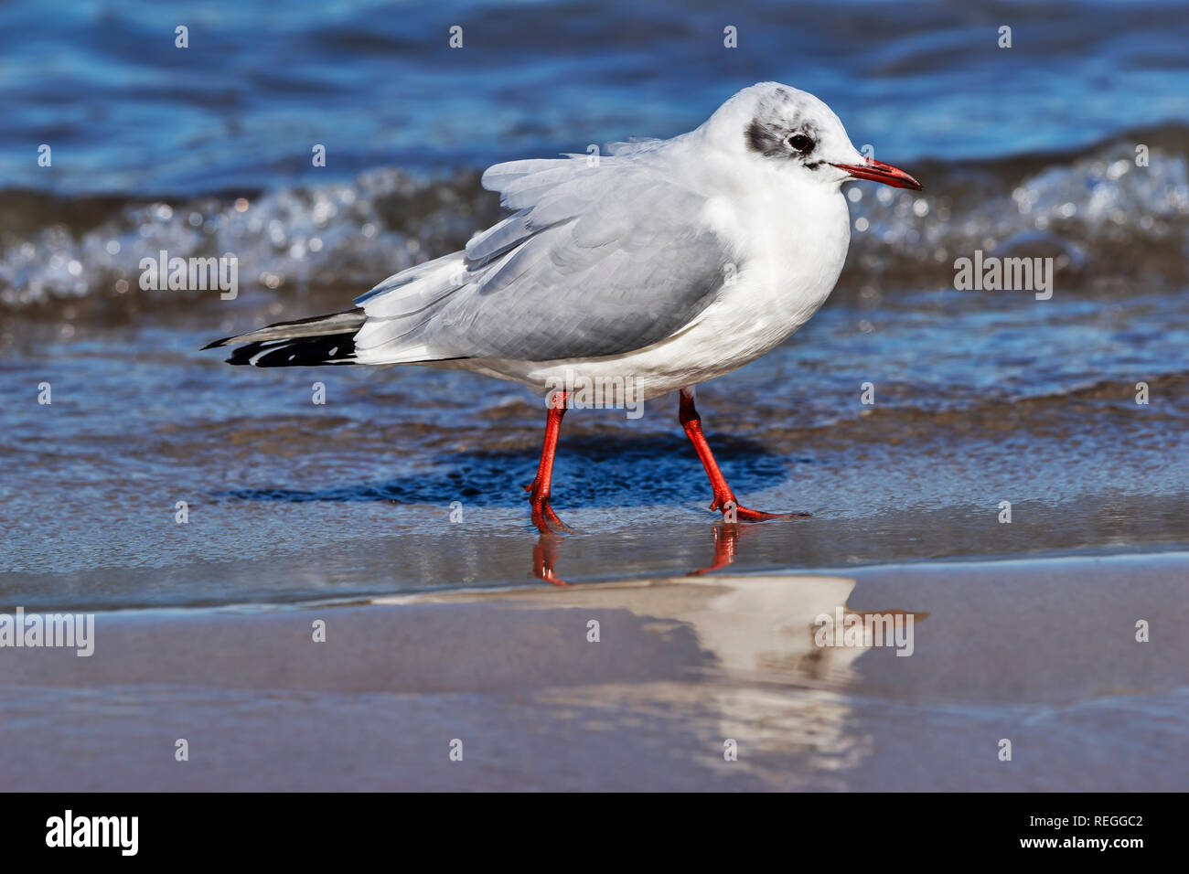 Detail view of a Black-headed gull in winter plumage at the beach of the Baltic Sea in Kolobrzeg, West Pomeranian, Poland, Europe - Stock Image