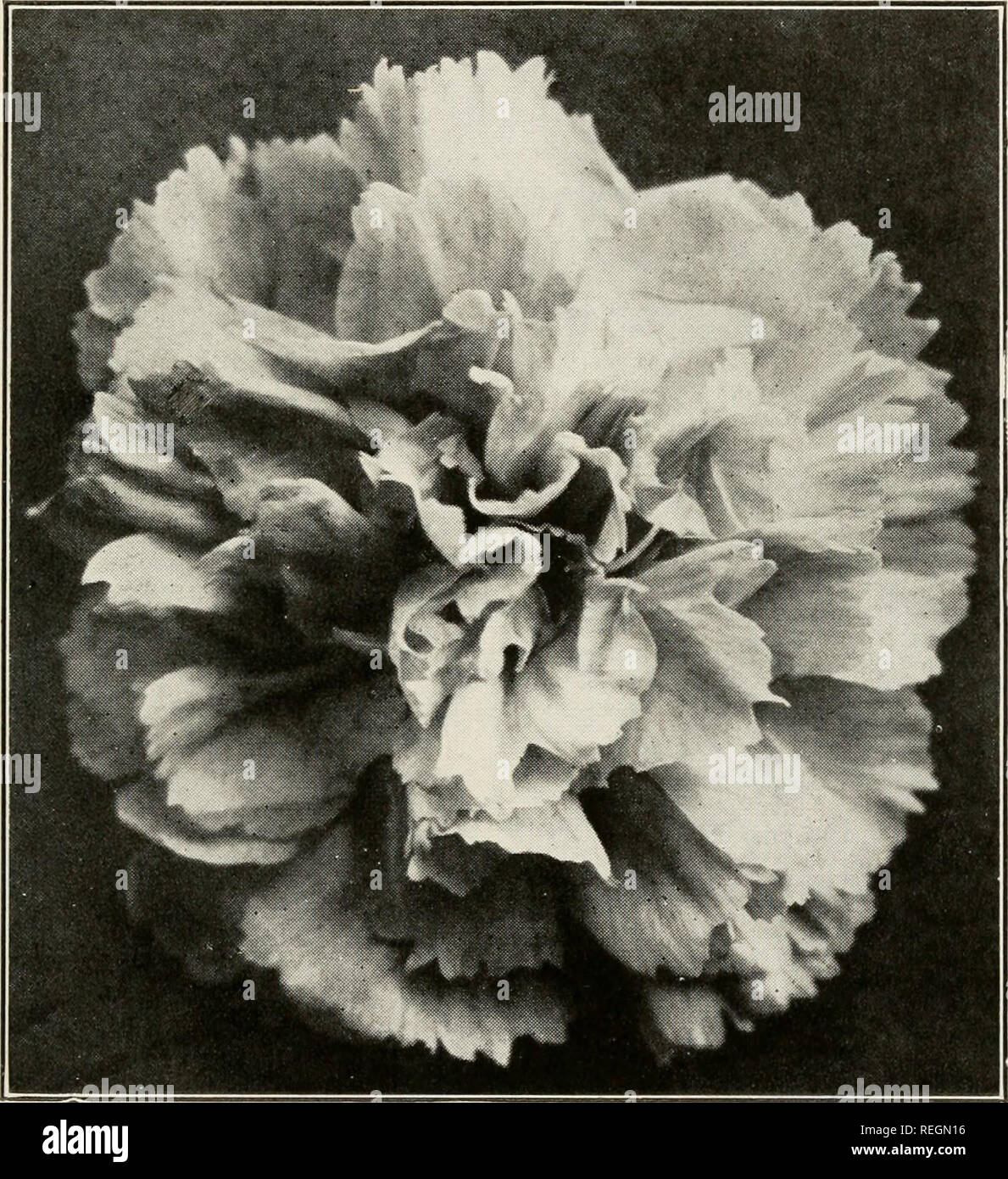 Commercial carnation culture