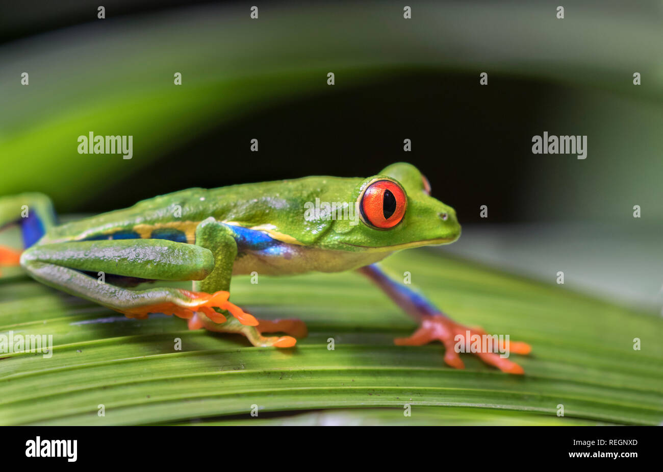 Red-eyed tree frog (Agalychnis callidryas) on a leaf, Alajuela, Costa Rica Stock Photo