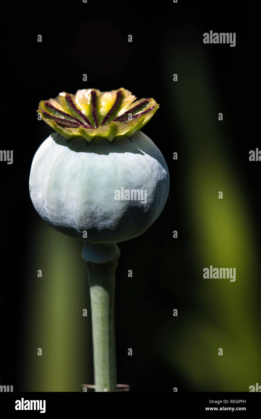 close up of a poppy seed head - Stock Image