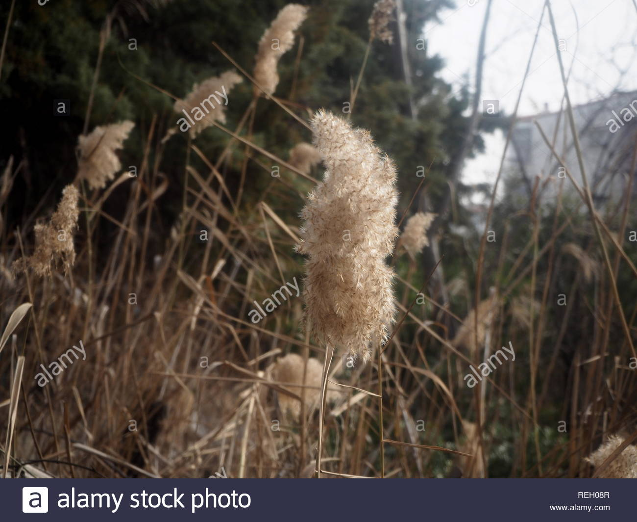 Common Reeds Upper part - Phragmites australis - Stock Image