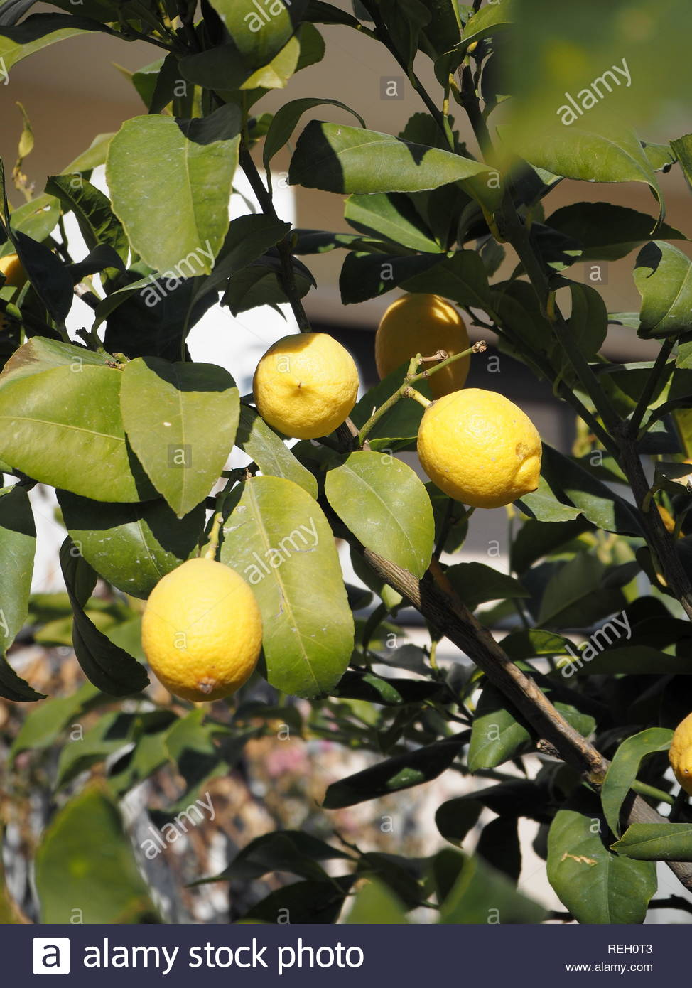 Close up of lemons on a Lemon tree - Stock Image