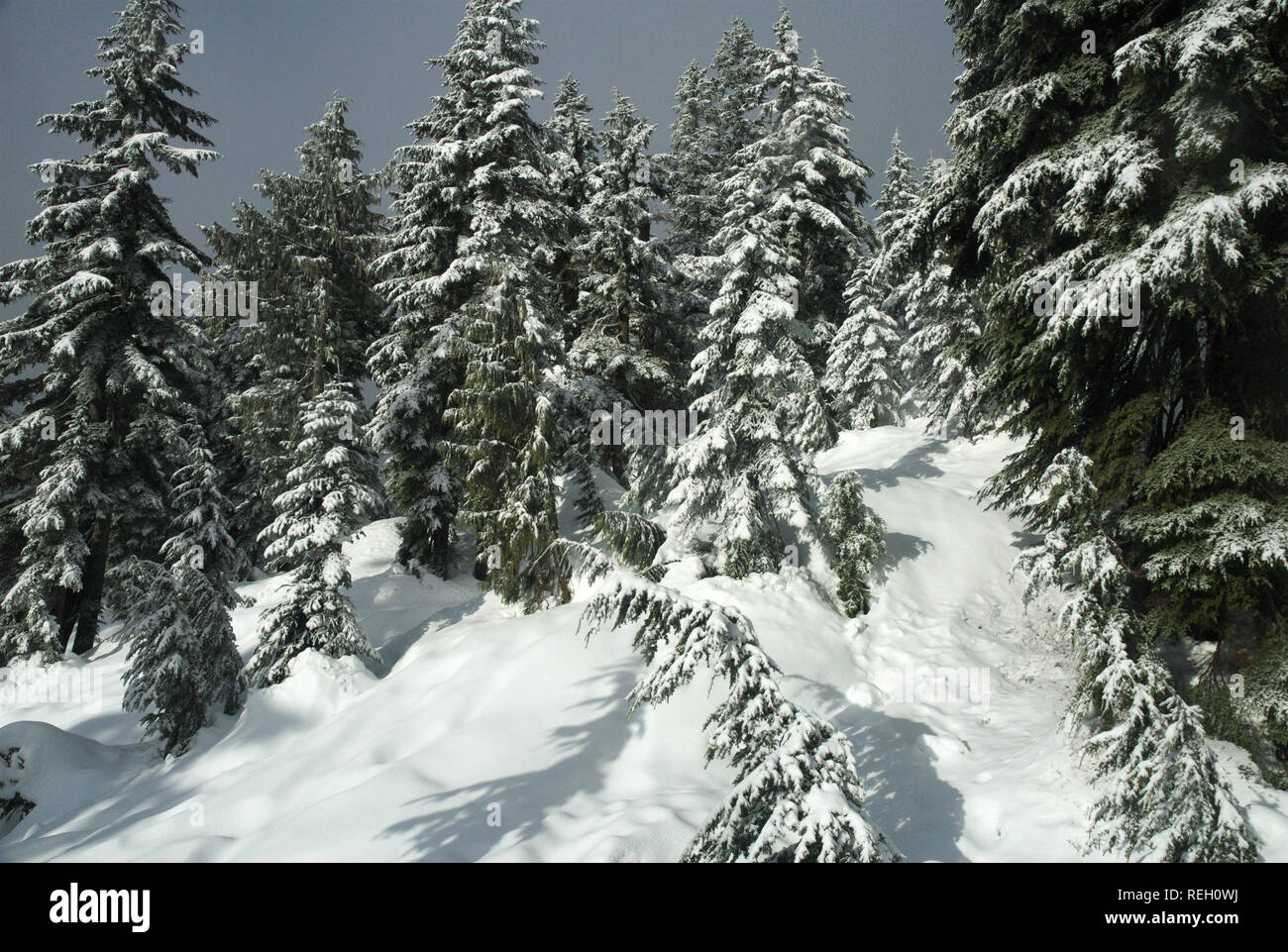 Deep snow in the forest, Mission, British Columbia, Canada - Stock Image