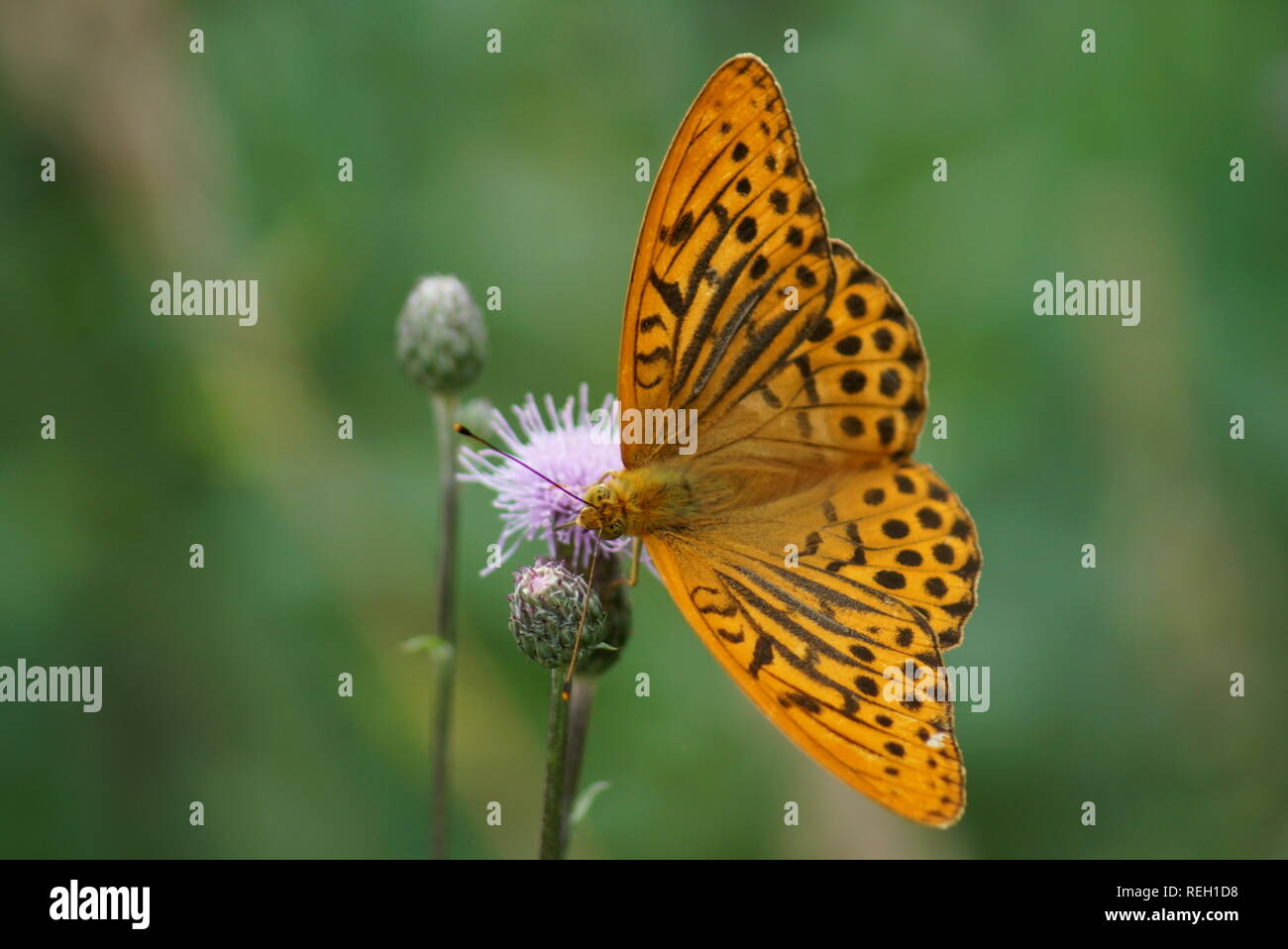 Argynnis paphia L. on pink flower green background - Stock Image