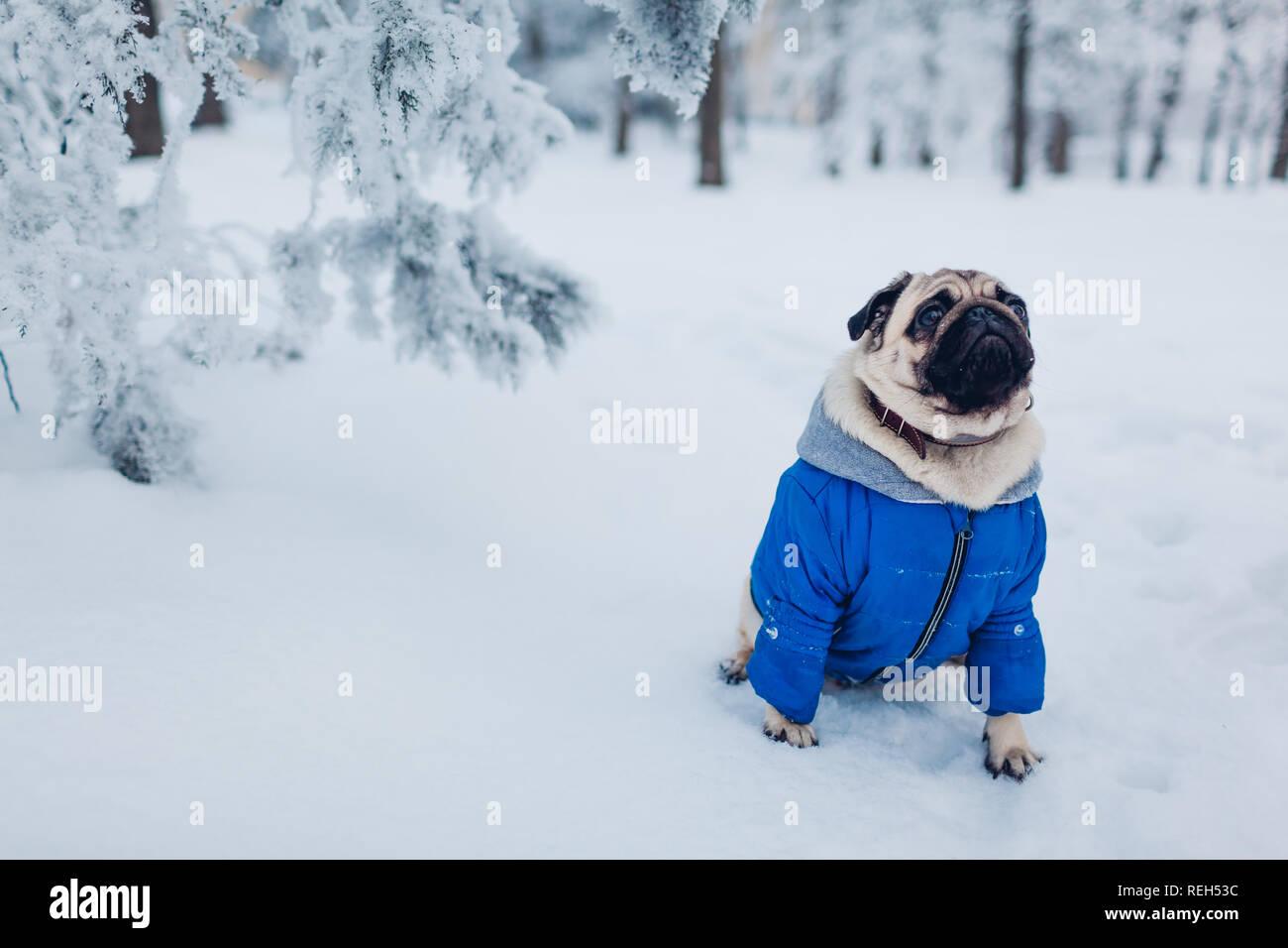 Pug Clothes Stock Photos & Pug Clothes Stock Images - Alamy