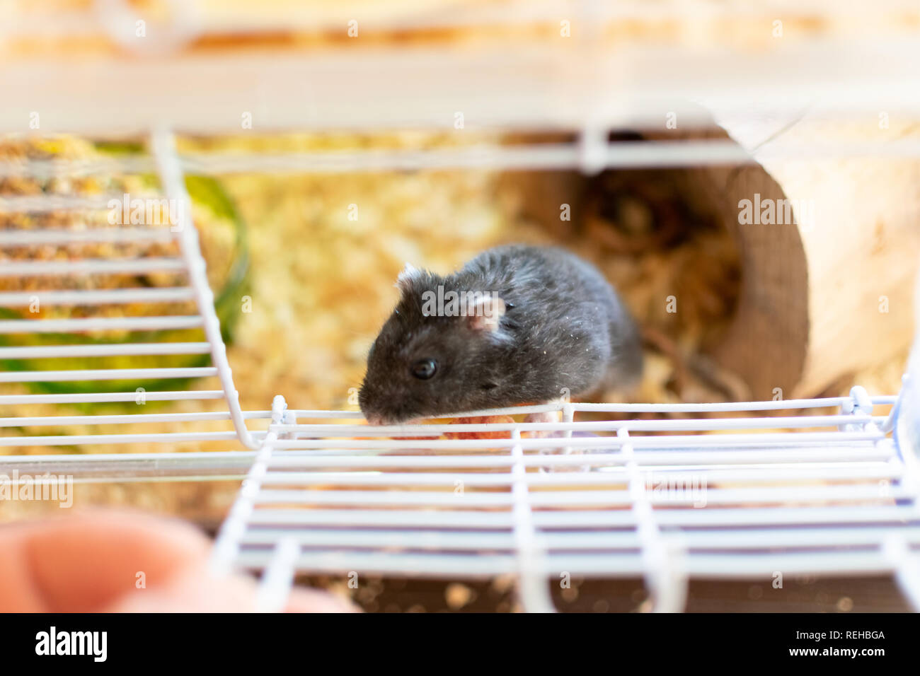 A hamster in a cage trying shyly to get free Stock Photo: 232722234