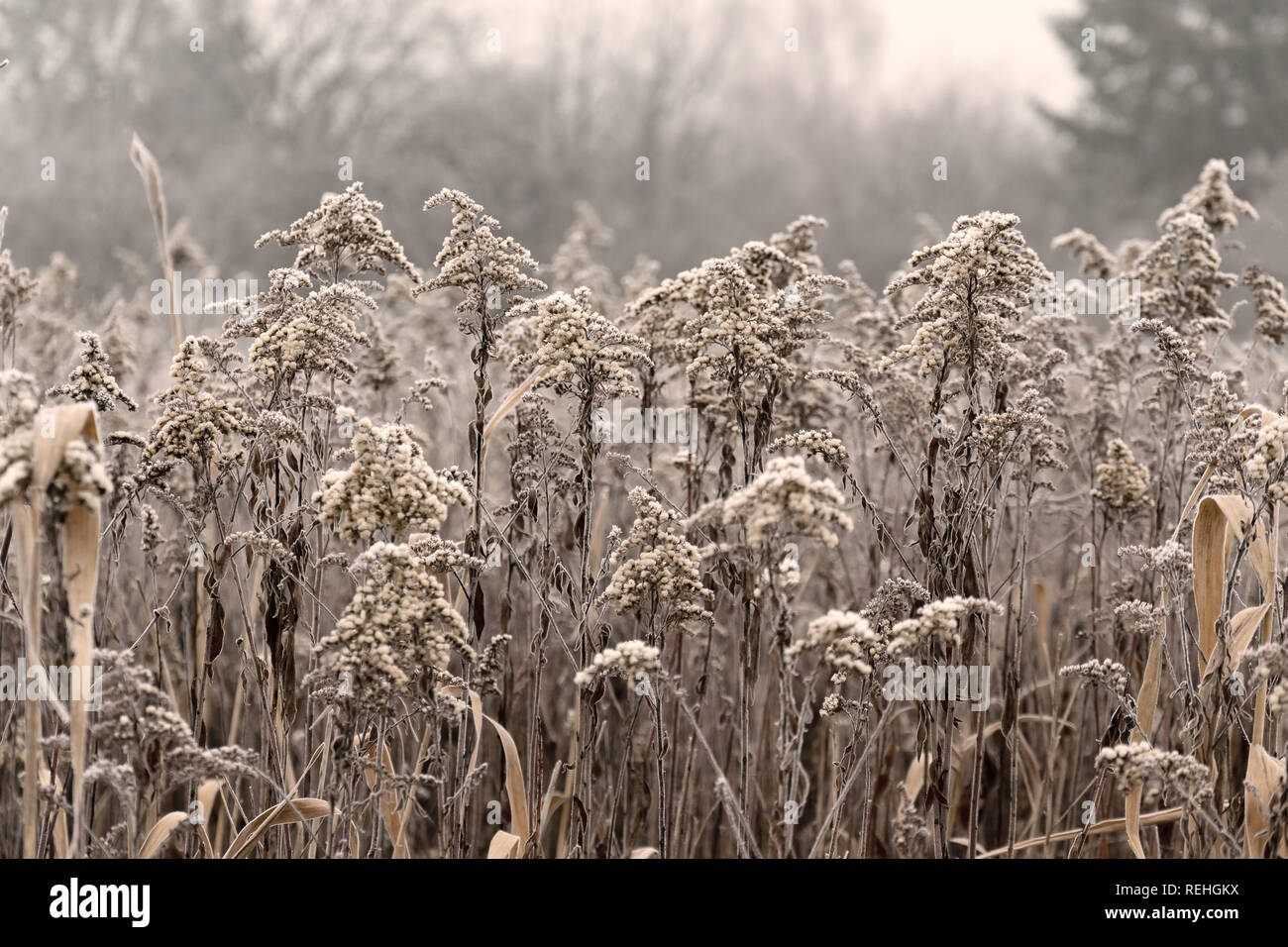 Winter in the meadow. Hoarfrost on the grass. Stock Photo