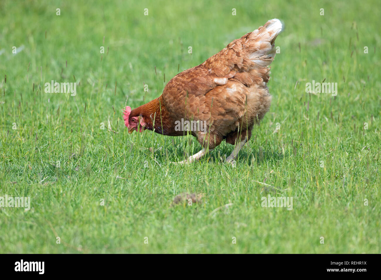 Domestic Fowl (Gallus gallus), an egg laying hybrid. Here living a free-ranging life, foraging amongst green grassland pasture.  - Stock Image